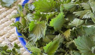Сбор и заготовка крапивы на зиму — лучшие рецепты