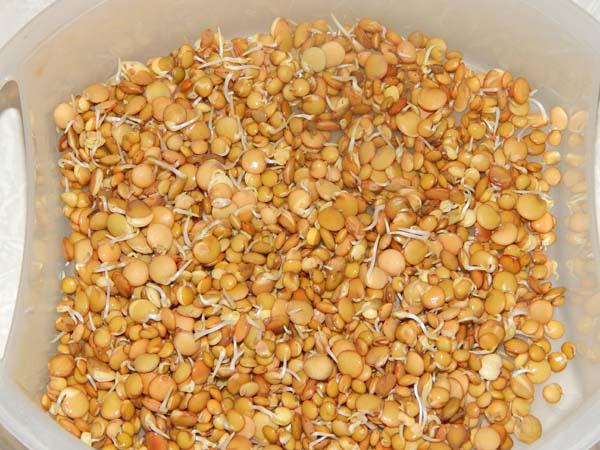 ростки чечевицы