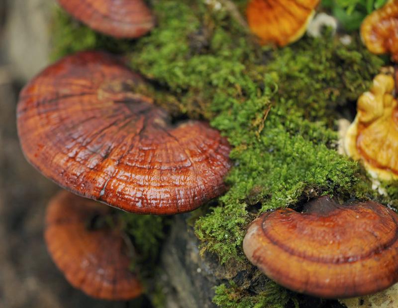 гриб рейши для похудения